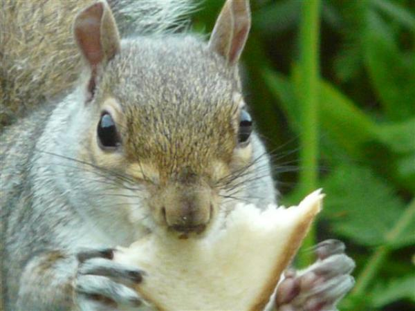 Grey Squirrel Eating Sandwich by Les Fisher