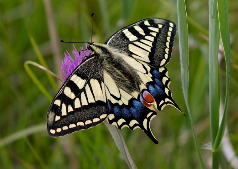 Swallowtail butterfly, photo by David Gifford