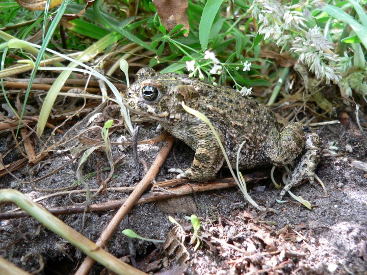Natterjack Toad, NWT Syderstone Common, Karl Charters
