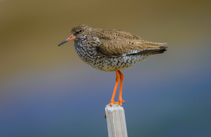 Breeding redshank return to Roydon Common after 40 years