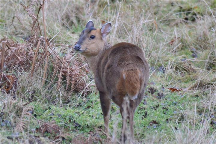 Muntjac Norfolk Wildlife Trust
