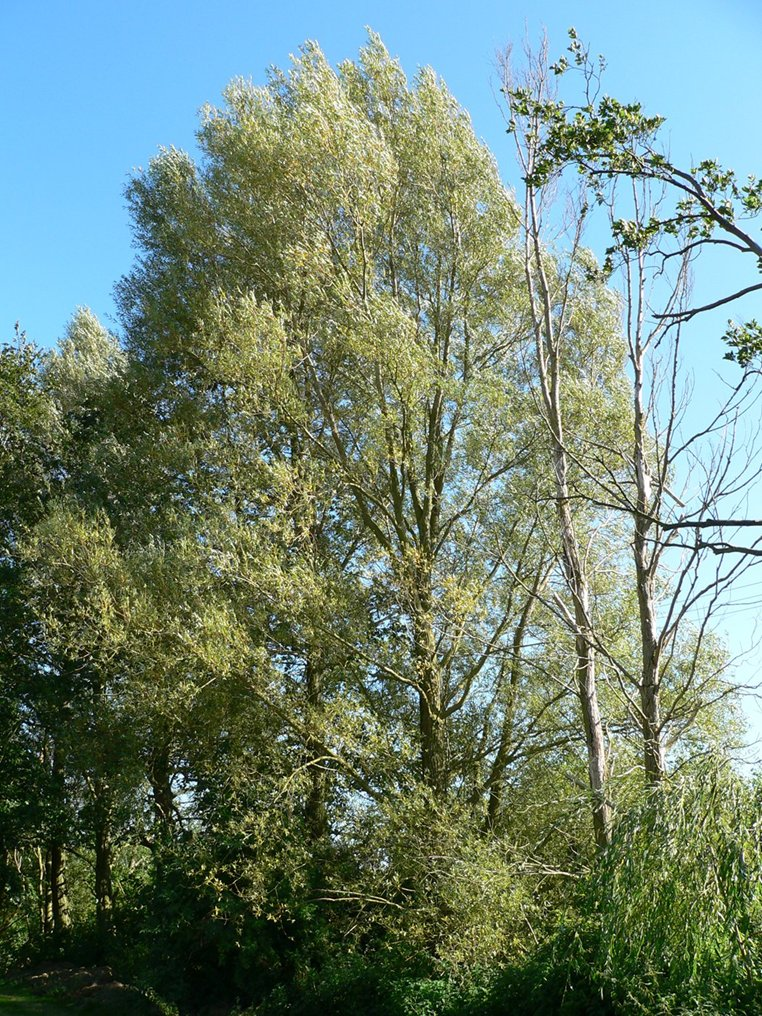 White Willow and Crack Willow - Norfolk Wildlife Trust