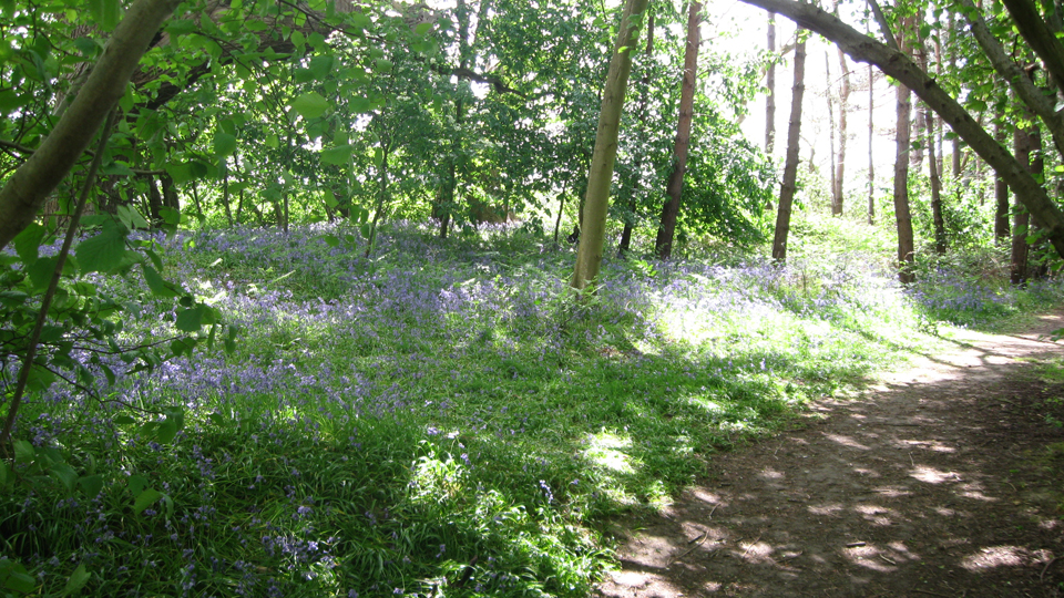 Bluebells in Reffley Wood by Robin Stevenson