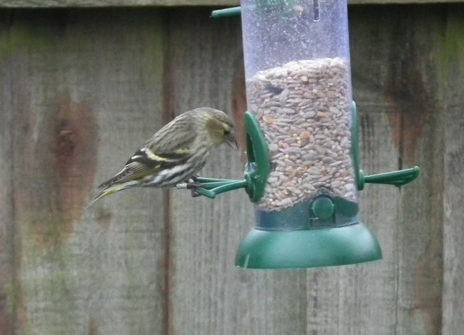 Siskin on bird feeder