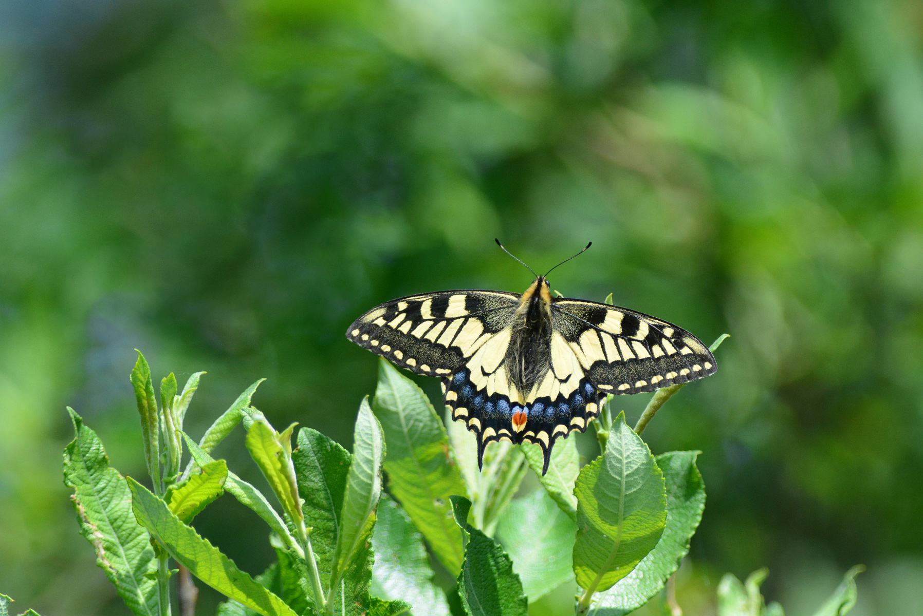 2018-03-28  Norfolk's iconic swallowtail