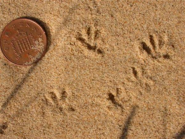 Small Mammal Tracks by Andrew Cannon