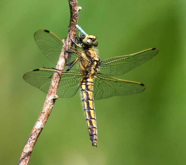 Black Tailed Skimmer, Strumpshaw Fen, Barry Madden