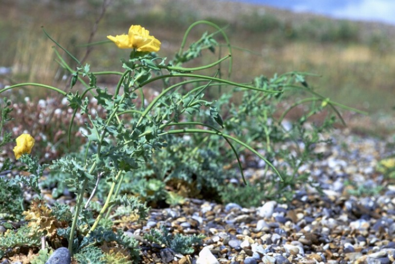 Yellow-horned Poppy, Cley Shingle Ridge, Bob Ward