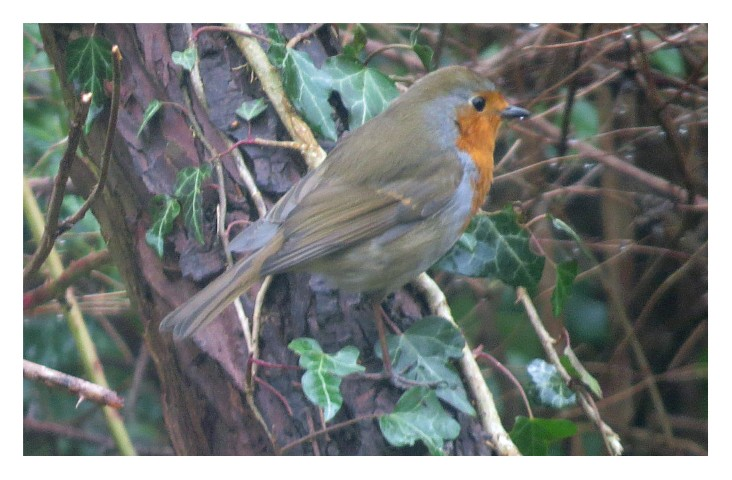 Robin on ivy covered branch