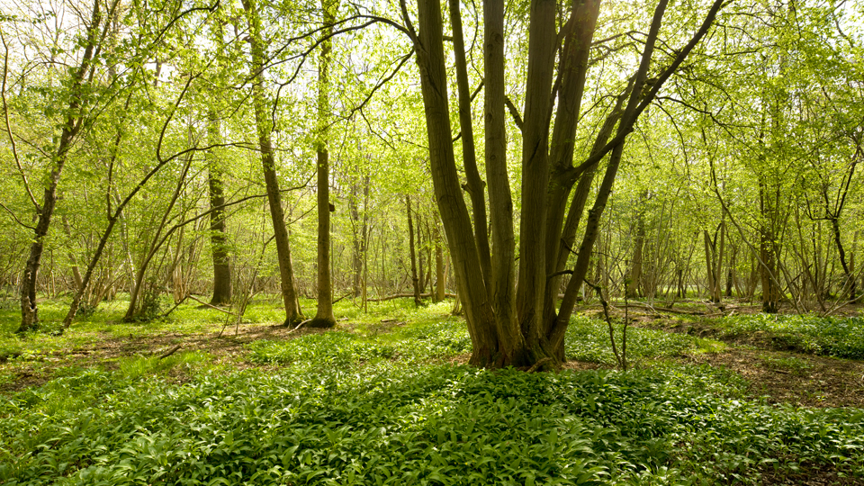 Tree in NWT Lower Wood, Ashwellthorpe offers hope for ash trees