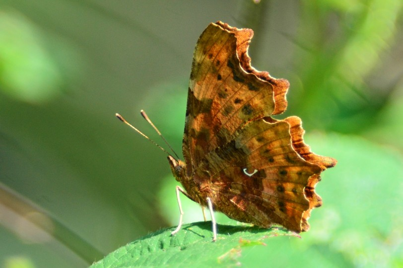Comma butterfly, photo by Liz Dack