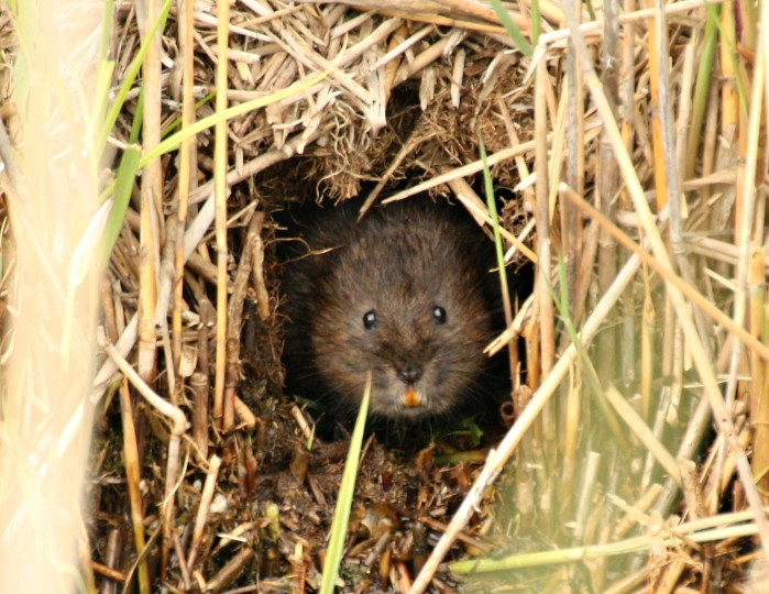 2017-06-21 Water vole ecology and survey