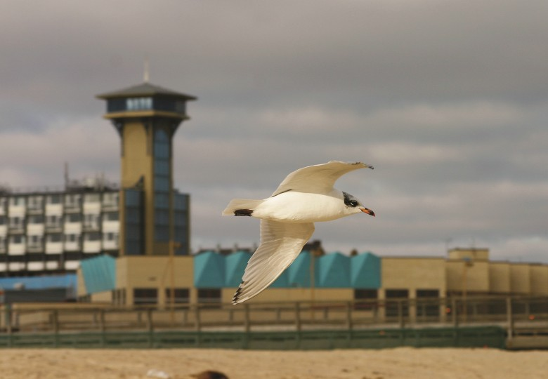 Mediterranean Gull, Great Yarmouth, Barry-Madden