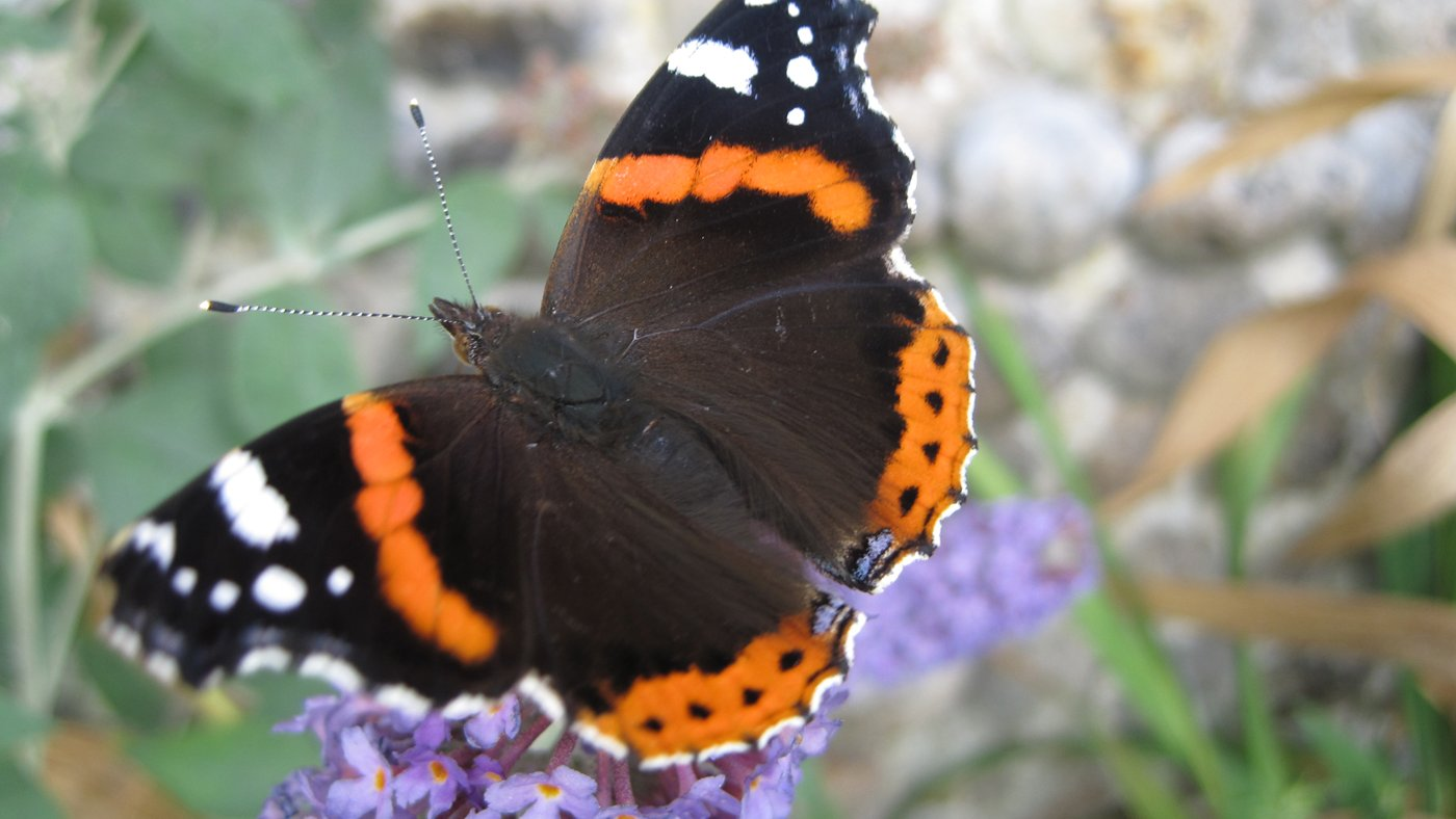 Red admiral by David North