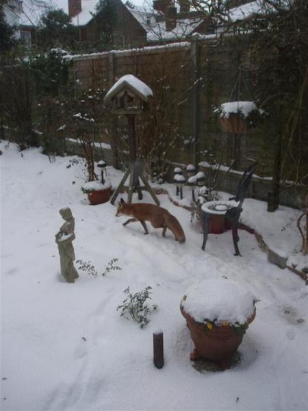 Foxes in a Snowy Garden by Mrs McLeod