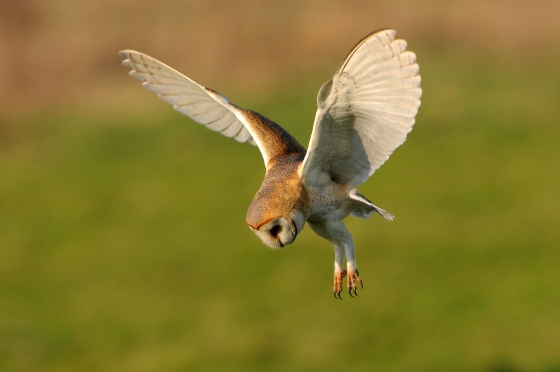 Barn owl by Nick Appleton