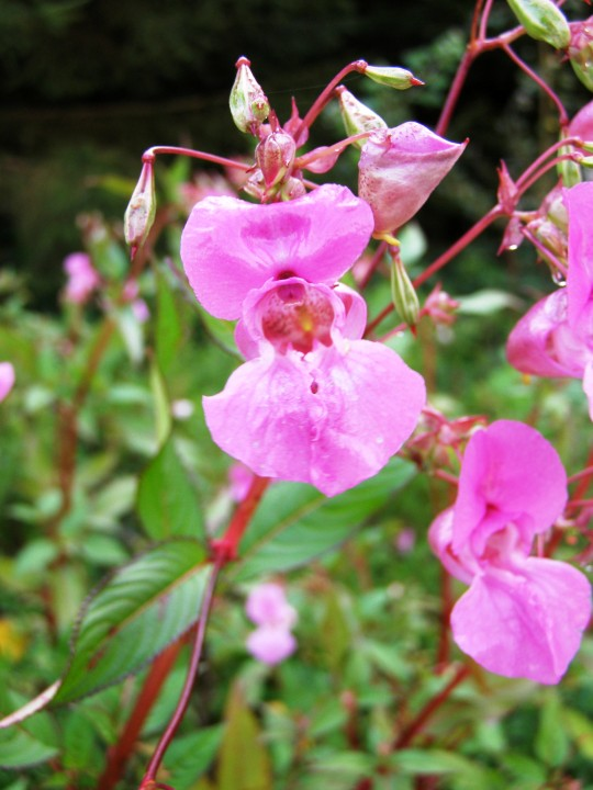 Himalayan Balsam Norfolk Wildlife Trust