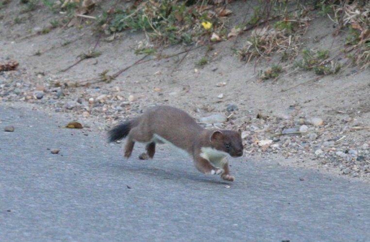 stoat   norfolk wildlife trust