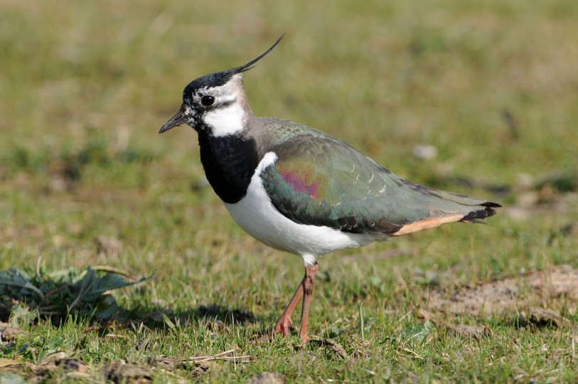 Lapwing by Nick Appleton