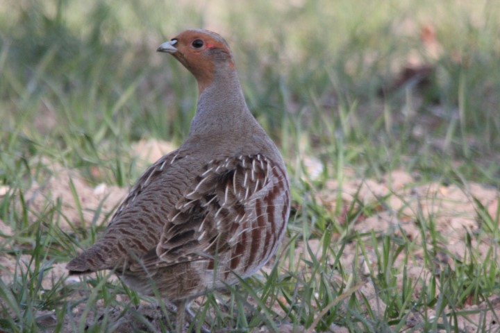 Grey Partridge - Norfo...