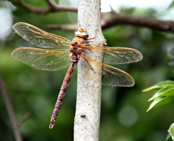 Brown Hawker by Pat Adams