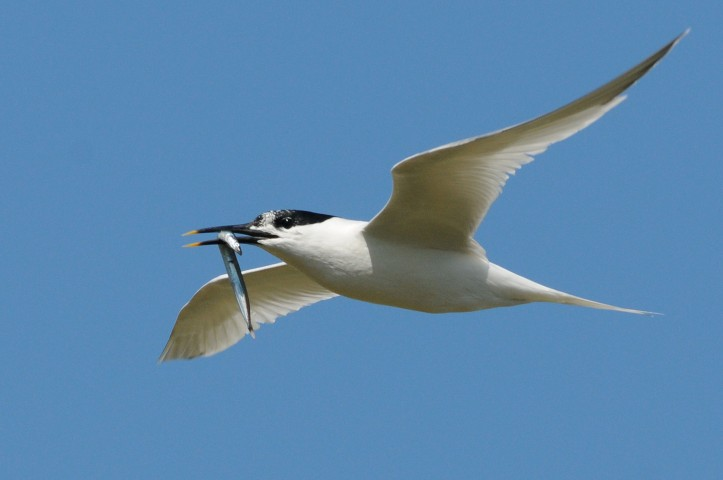 Sandwich Tern by Nick Appleton