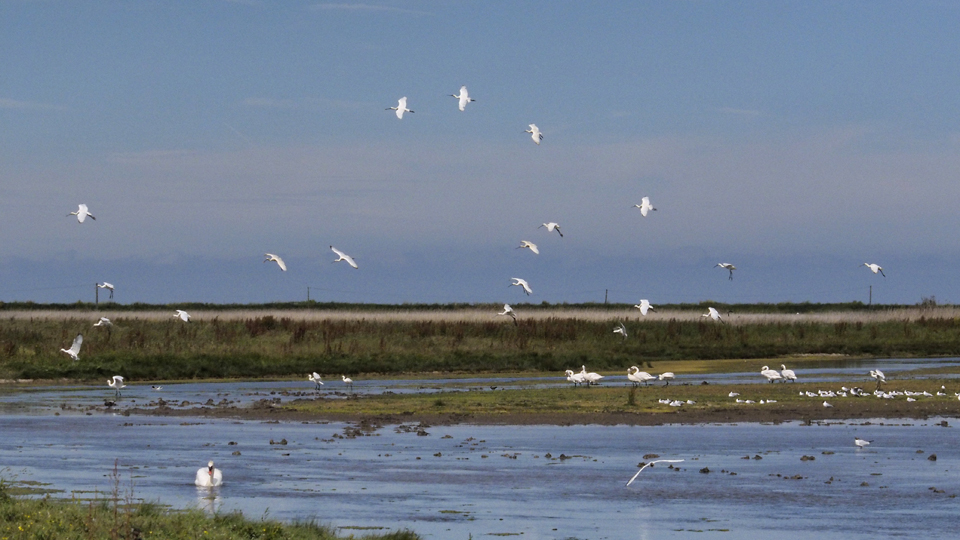 2014-07-04  Record number of spoonbills a