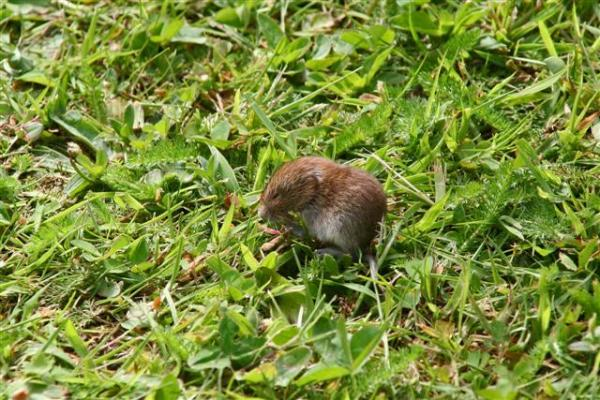 Bank Vole by Phillip Ashton