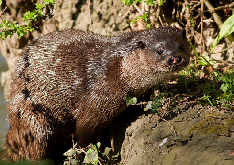 Otter, photo by Eddie Deane