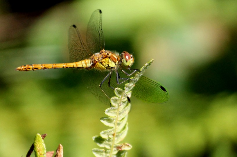 Common darter dragonfly, photo by Peter Dent