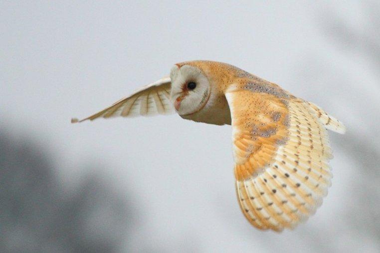 Barn Owl - Norfolk Wildlife Trust