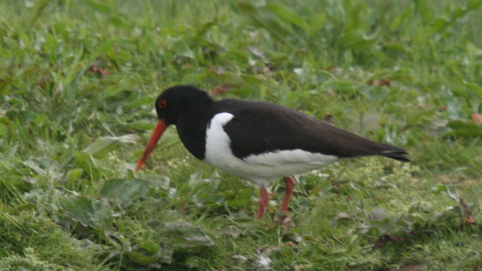 2015-06-15 Oystercatcher enjoys Attenboro