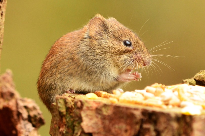 harvest mouse, photo by Liz Dack