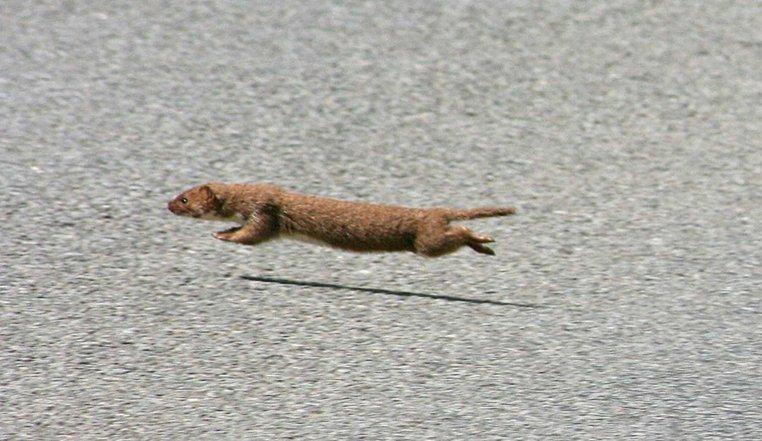 weasel norfolk wildlife trust