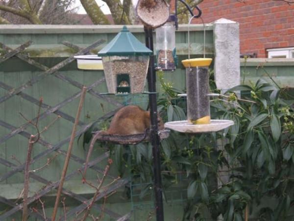 Brown Rat on Bird Feeder by Ann LeLievre
