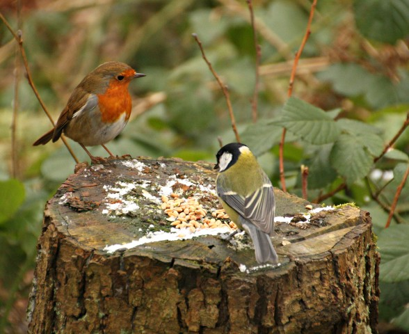 Robin and great tit