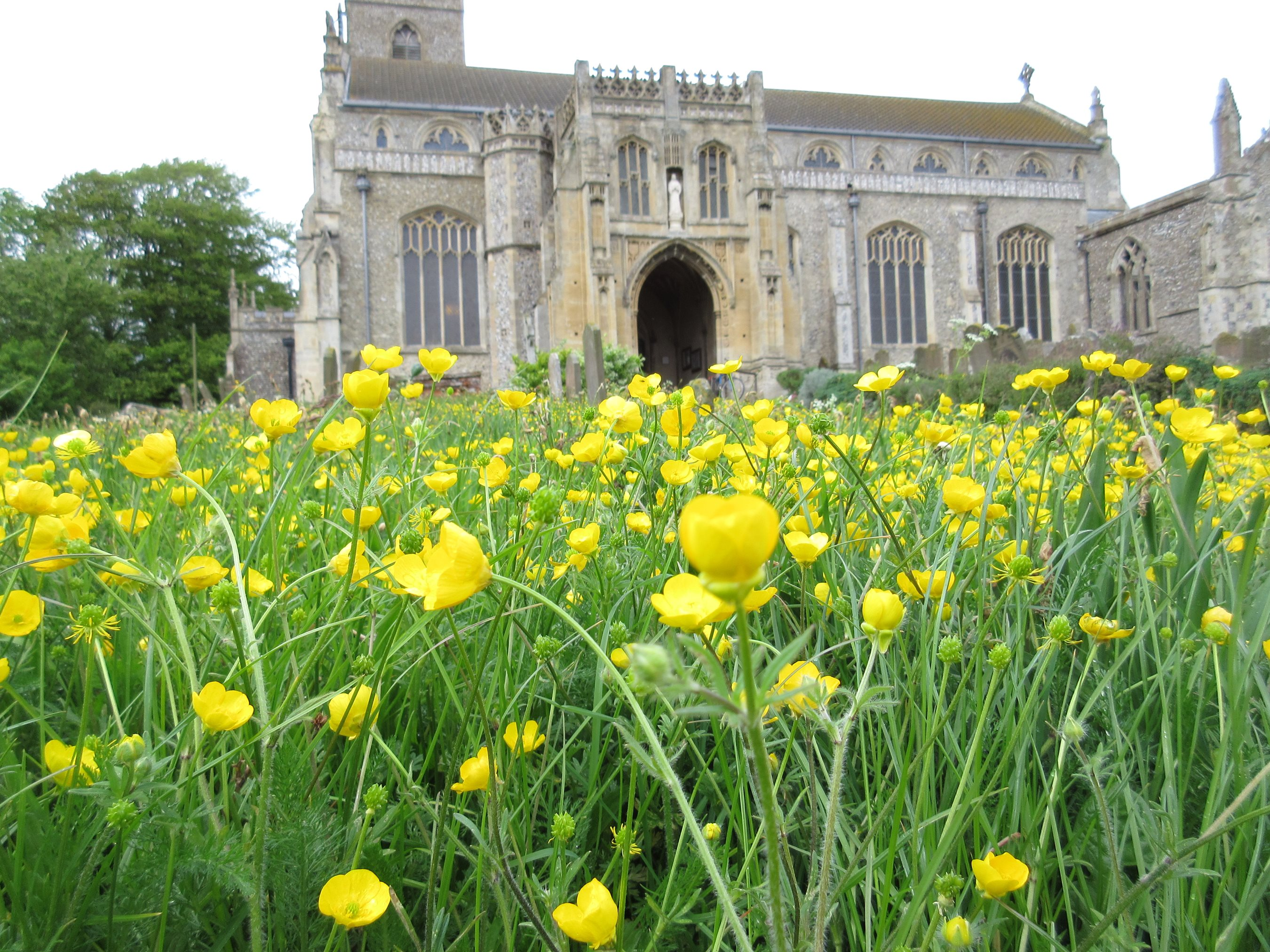 Bulbous buttercup, Cley churchyard, David North