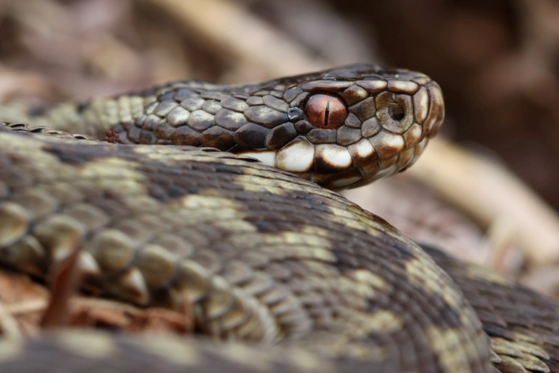 Adder, NWT Roydon Common, Karl Charters