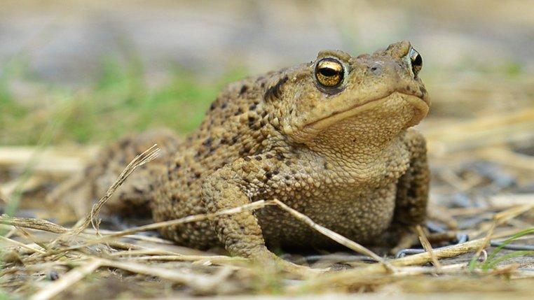 common toad norfolk wildlife trust