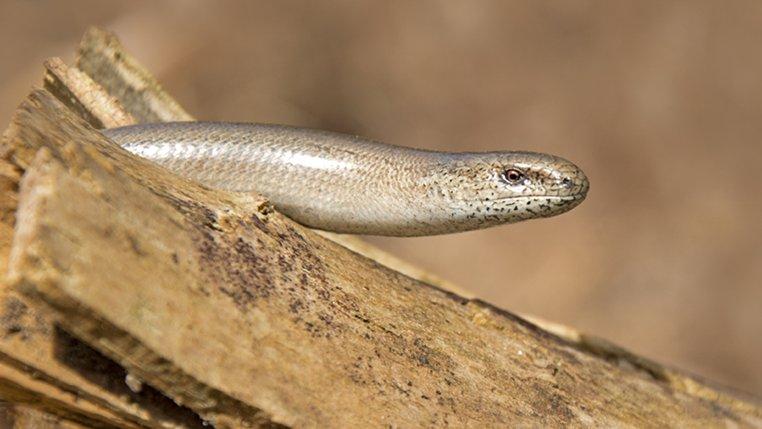 slow worm norfolk wildlife trust