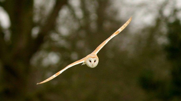 Barn Owl Norfolk Wildlife Trust