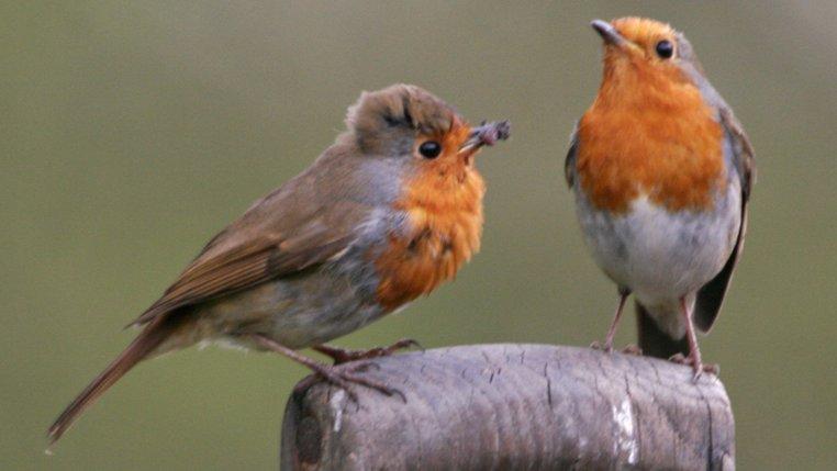 Robin - Norfolk Wildlife Trust