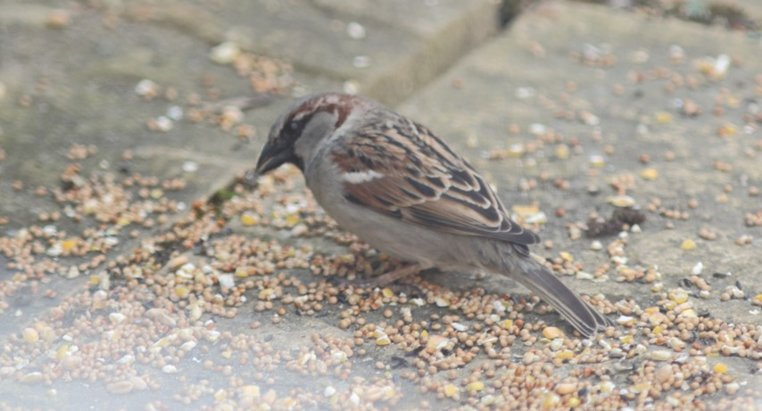 how to get rid of house sparrows uk
