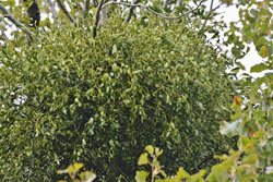 How do I get mistletoe to grow on a tree in my garden?