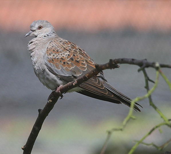 Turtle Dove, NWT Holme Dunes, Ian Simonds