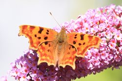 What does a comma butterfly look like?