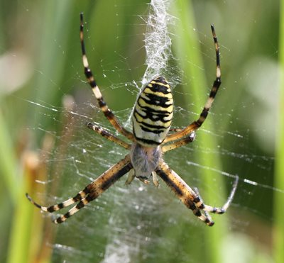 Wasp spider, by Barry Madden