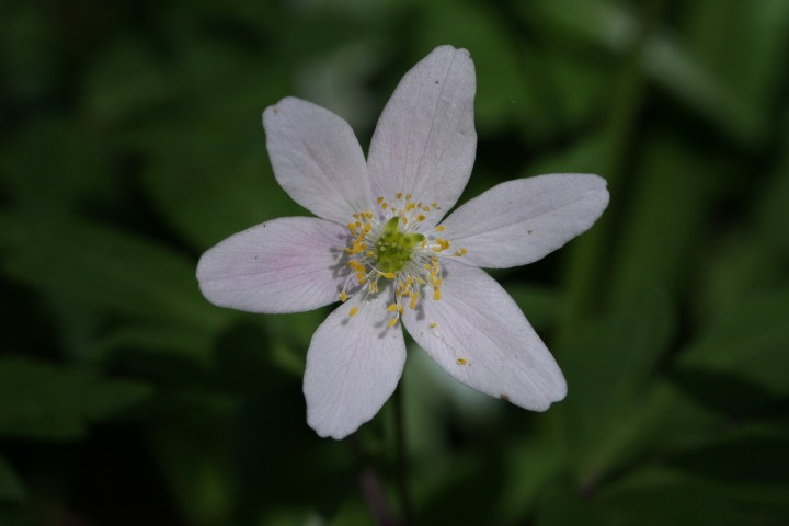 Wood Anemone by Brendan Joyce