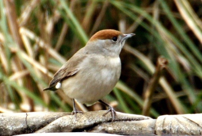 Blackcap by Pat Adams