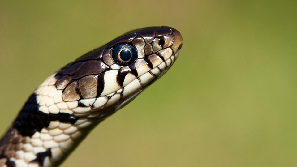 Grass Snake, Mark Ollett